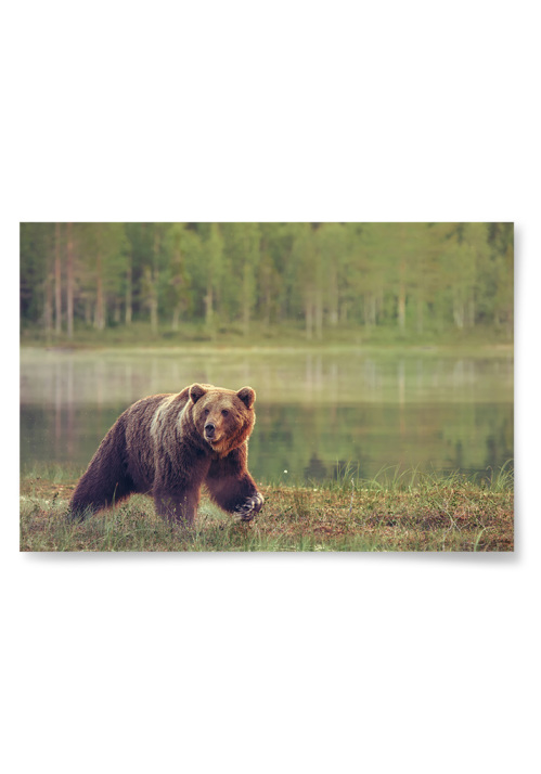 Poster Björn i Natur