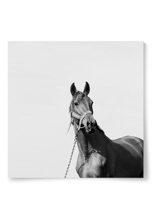 Poster häst foto svartvit