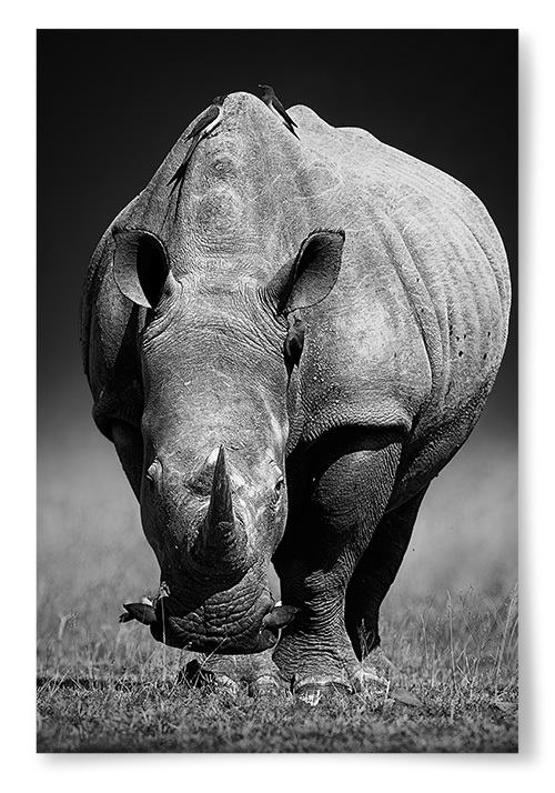 Poster Noshörning