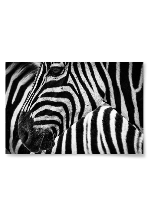 Poster Zebra Närbild