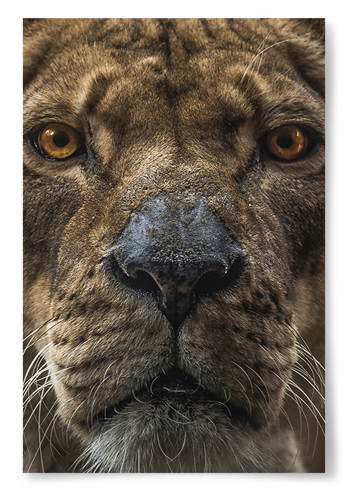Poster Lejonhona Närbild