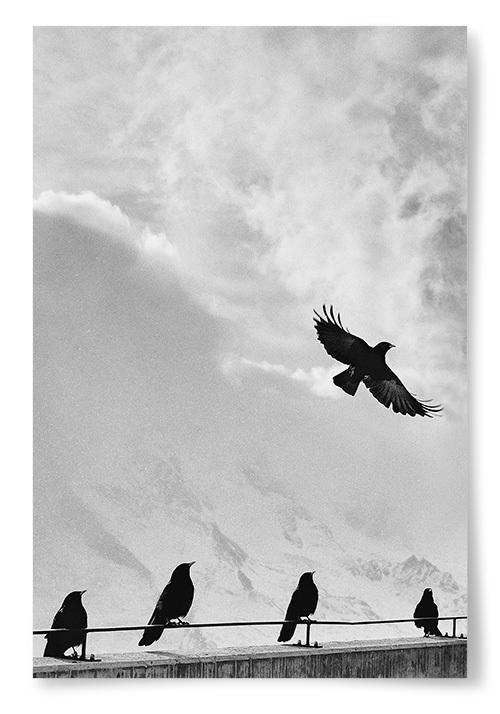Poster Svarta Fåglar