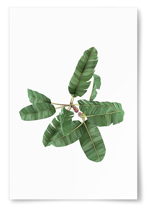 Poster Bananträd
