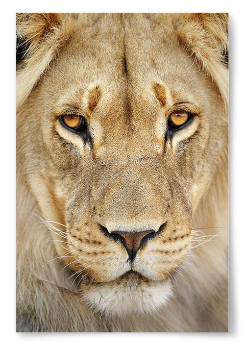 Poster Lejon