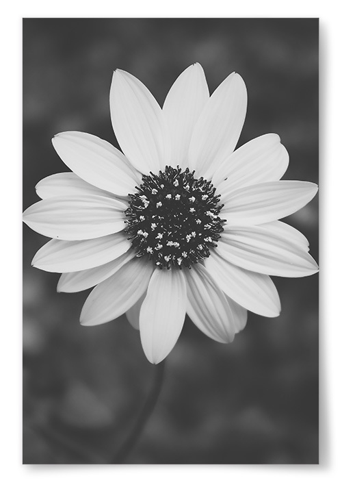 Poster Vit Blomma