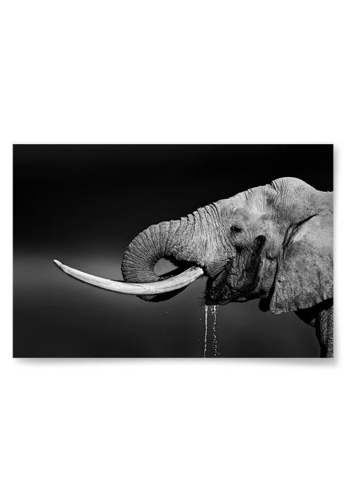 Poster Elefant som Dricker