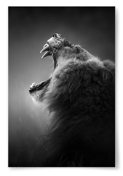 Poster Rytande Lejon