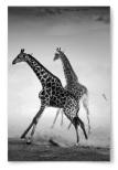 Poster Giraffer