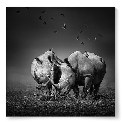 Poster Noshörningar
