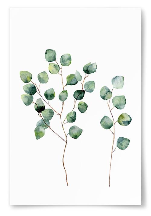 Poster Eucalyptus