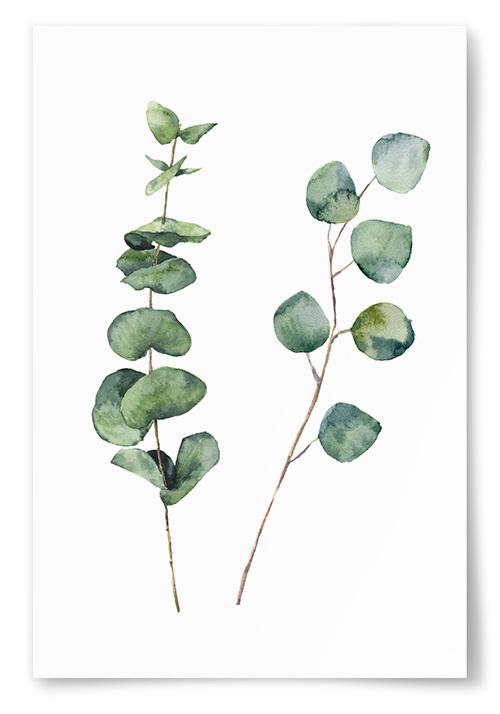 Poster Eucalyptus Kvistar