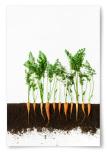 Poster Morotsplantering