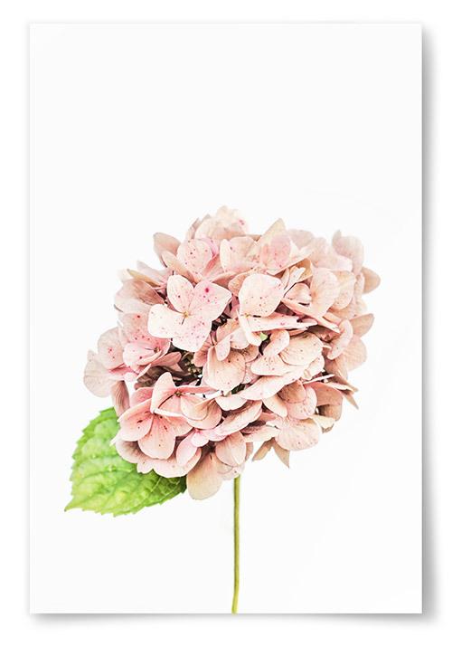 Poster Hortensia Rosa