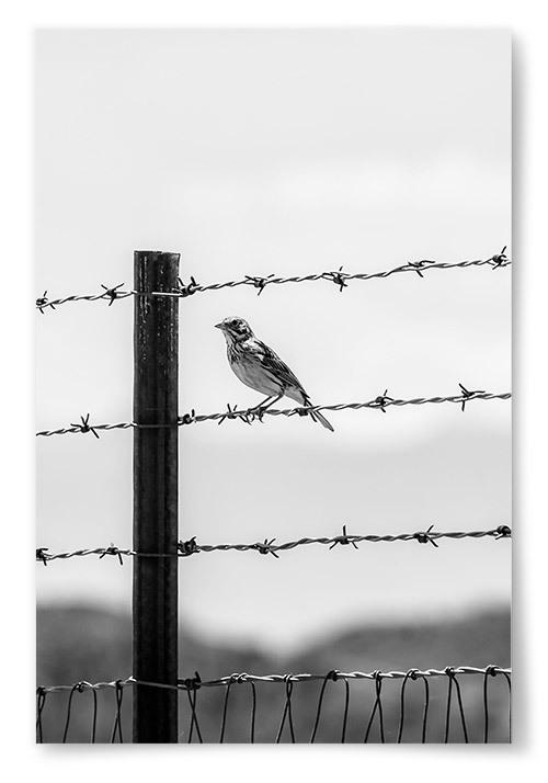 Poster Fågel på Taggtråd