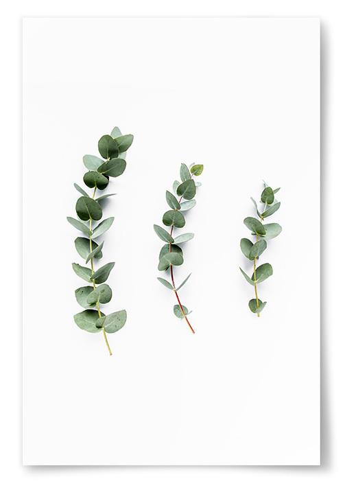 Poster Fotografi Eukalyptus No1