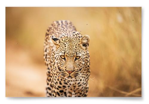 Poster Leopard Horisontell