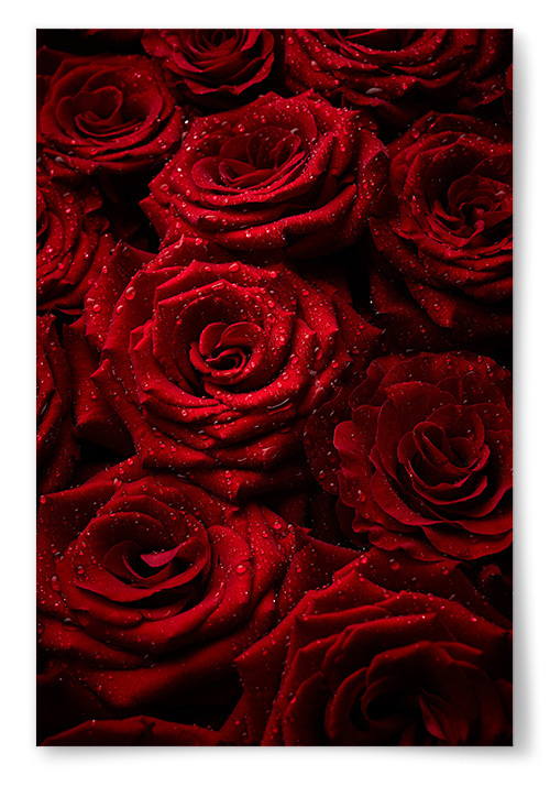 Poster Röda Rosor