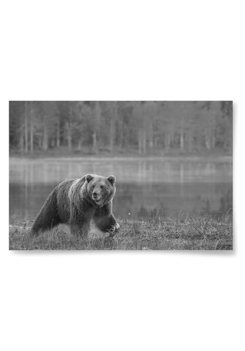 Poster Björn i Natur Svartvit