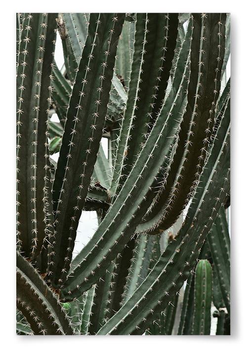 Poster Foto Kaktus