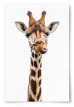 Poster Giraff Som Tuggar