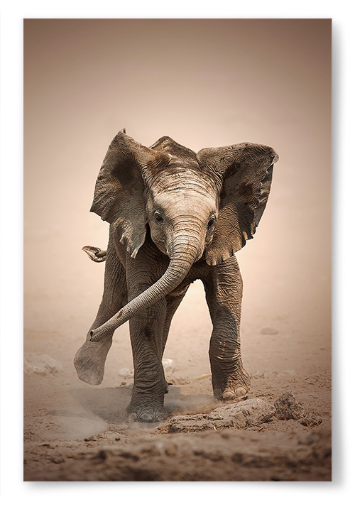 Poster Baby Elephant i Färg