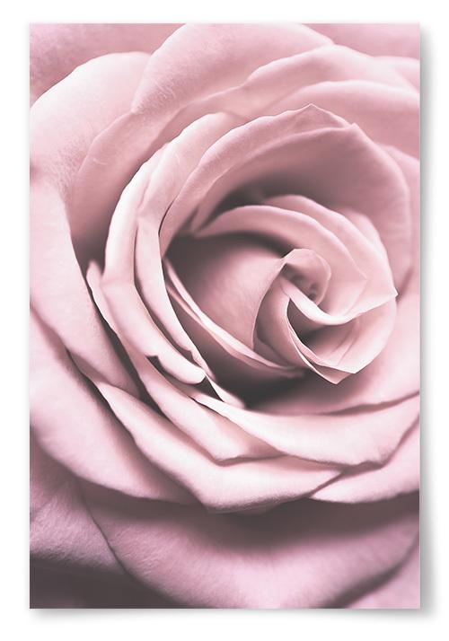 Poster Rosa Ros