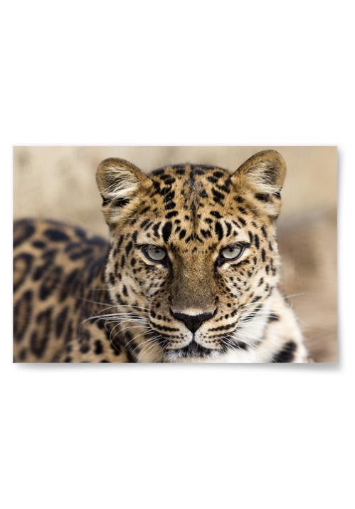 Poster Fokuserad Leopard