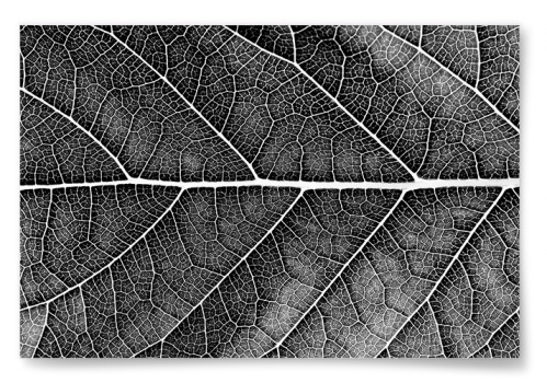 Poster Närbild Löv Svartvit